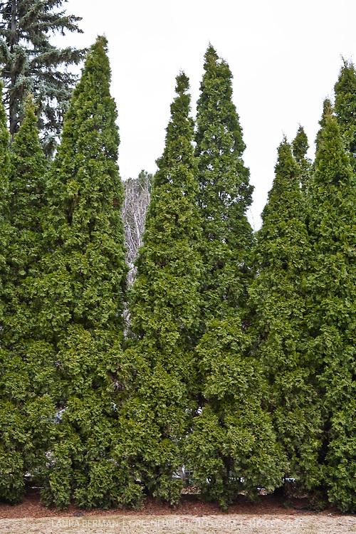 Black cedar ( Thuja occidentalis 'Nigra').