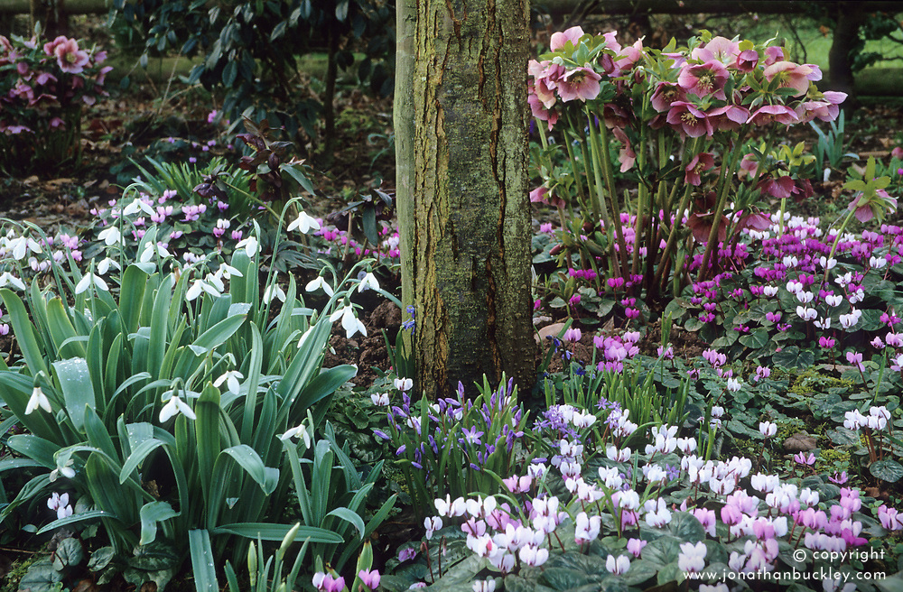 Woodland area in spring with Cyclamen coum, hellebores and snowdrops - Galanthus