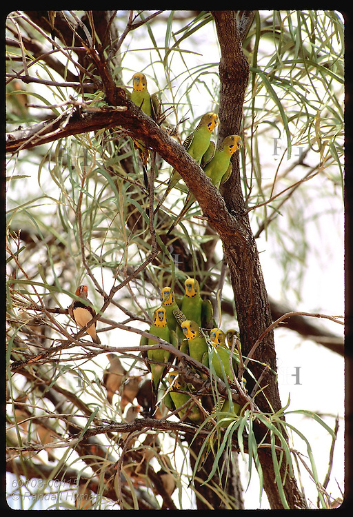 Budgerigar birds and zebra finches fill branches of tree in Tanami Desert. Australia