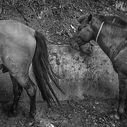 Horses of the streets