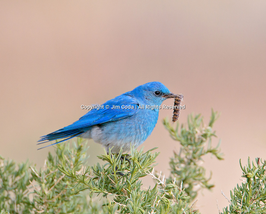 A mountain bluebird shows off its caterpiller.
