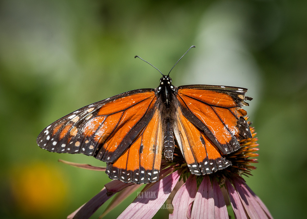 A tattered monarch butterfly feeds on a coneflower.