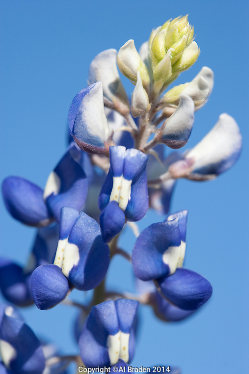 Bluebonnet (Lupinus texensis, Blanco County, Texas