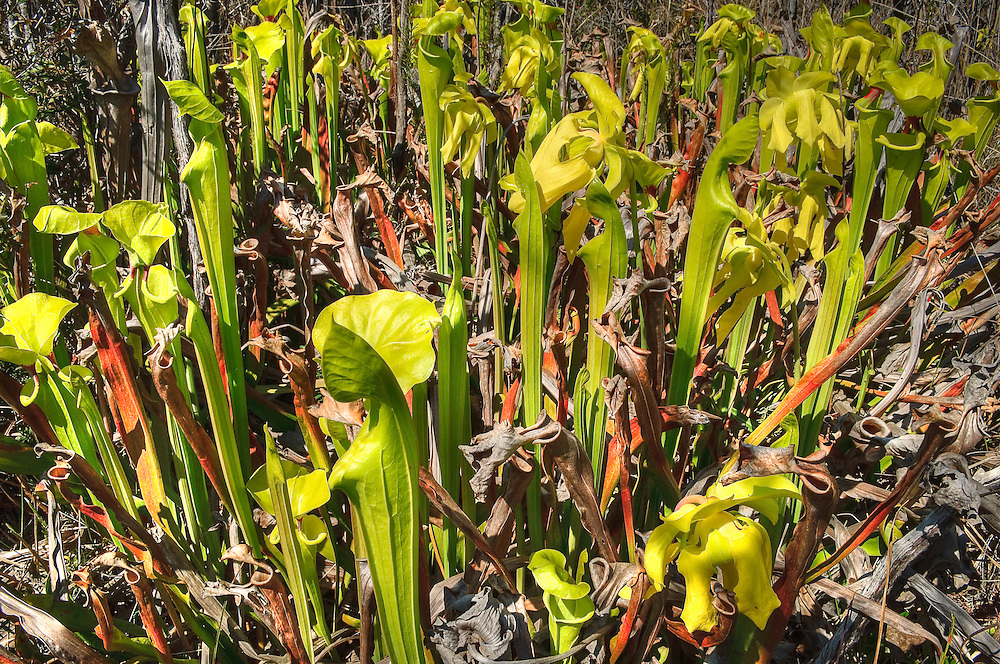 When traveling through the Apalachicola National Forest in Liberty County, Florida, yellow pitcher plants stand in groves in the seepage bogs along several of the roads.