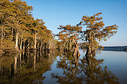 Cypress in Fall Colors Lake Dauterive
