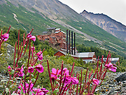 "Pink fireweed reclaims a ghost town where the 14-story tall Kennecott Concentration Mill processed copper ore 1911-1938. Kennecott Mines National Historic Landmark and nearby McCarthy nestle under Bonanza Ridge in the Wrangell Mountains within Alaska's Wrangell-St. Elias National Park and Preserve, the largest National Park in the USA. Old mine buildings, artifacts, and colorful history attract summer visitors. Remote McCarthy is connected to Chitina via the McCarthy Road spur of the Edgerton Highway. At the east end of McCarthy Road, visitors must park their vehicle and walk across the footbridge to McCarthy. From McCarthy, a privately-operated shuttle takes visitors 5 miles to Kennecott. After copper was discovered between the Kennicott Glacier and McCarthy Creek in 1900, the Kennecott town, mines, and Kennecott Mining Company were created and named after the adjacent glacier. Kennicott Glacier and River had previously been named after Robert Kennicott, a naturalist who explored in Alaska in the mid-1800s. The corporation and town stuck with a mistaken spelling of ""Kennecott"" with an e (instead of ""Kennicott"" with an i). Partly because alcoholic beverages and prostitution were forbidden in the company town of Kennecott, the neighboring town of McCarthy grew quickly to provide a bar, brothel, gymnasium, hospital, and school. The Copper River and Northwestern Railway reached McCarthy in 1911 to haul over 200 million dollars worth of ore 196 miles to the port of Cordova on Prince William Sound. By 1938, the world's richest concentration of copper ore was mostly gone, the town was mostly abandoned, and railroad service ended. Not until the 1970s did the area began to draw young people for adventure and the big money of the Trans Alaska Pipeline project. Declaration of Wrangell-St. Elias National Park in 1980 drew adventurous tourists who helped revive McCarthy with demand for needed services. Wrangell-St. Elias is honored by UNESCO as a World Heritage Site."