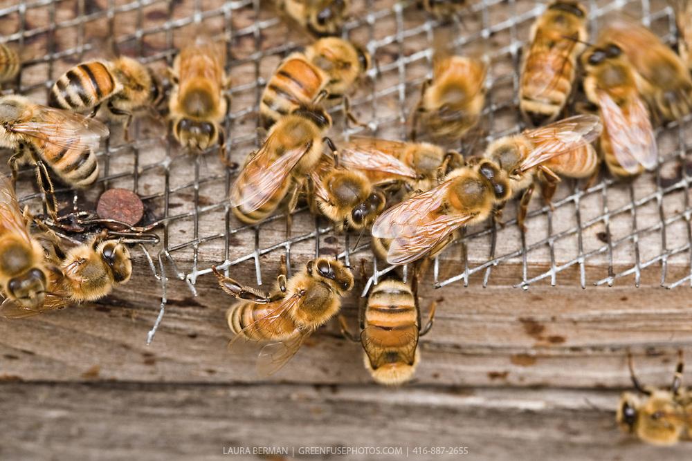 Close up photo of honey bees at their hive box door.
