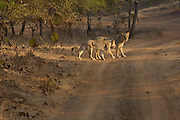 Sasan Gir - Monday, Jan 08 2007:  A female Asiatic Lion and her cub look back towards the camera at Gir National Park. (Photo by Peter Horrell / http://www.peterhorrell.com)
