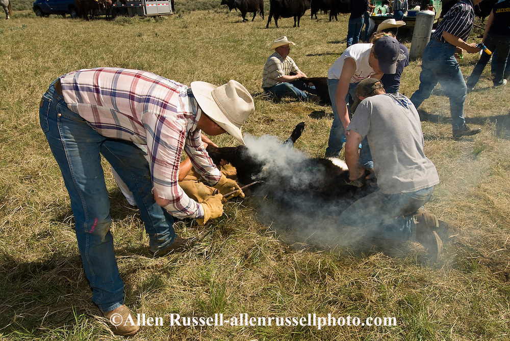 Branding, Rancher Charlie Cavall brands calf with son Cody and daughter Cara, east of Miles City, Montana