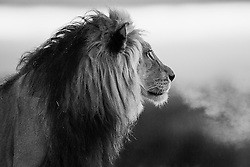 Kalahari lion ( Panthera leo ) at first light with breath shimmering on a cold foggy morning, black and white, Kalahari Desert, South Africa,