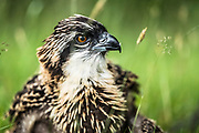 Selkirk, Scottish Borders, UK. 13th July 2017. Osprey chicks 25 days old are ringed by Forestry Commission Scotland in order to monitor the spieces behaviour and population. There are 250 pairs in the UK, the chicks will migrate to the African marshes where they will build up their strength for a couple of years before returning.