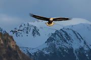 Bald eagle in Alaska