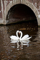 Amsterdam, Holland. two swans courting in a canal.