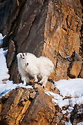 Mountain goats standing on steep cliffs, watching for danger in the Snake River Canyon of western Wyoming.