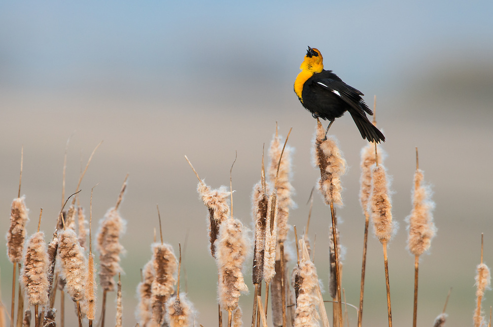 Yellow-headed Blackbird, Ninepipe Wildlife Management Area, Montana