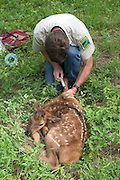 Oregon Division Of Fish And Wildlife biologist Pat Matthews prepares to collect blood from a newborn elk calf in the Sled Springs Elk Study Area. The calf will be radio collared so that its movements and health may be studied.