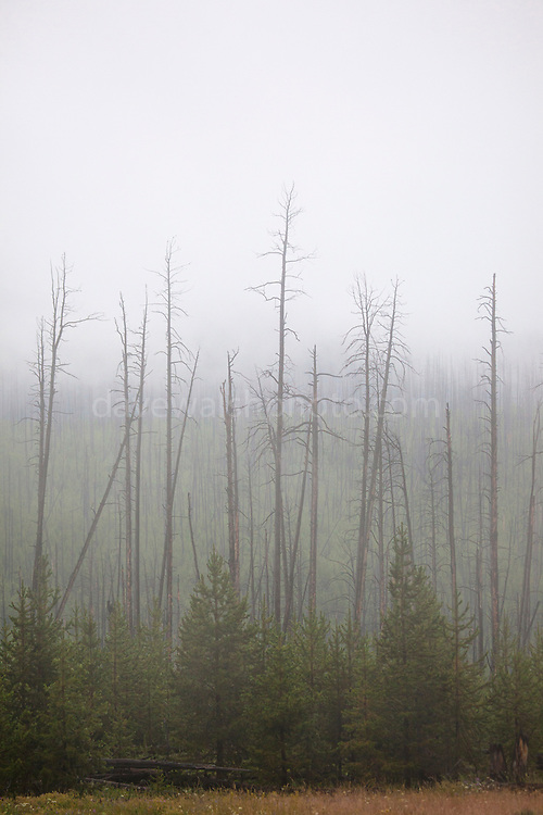 "Dead trees shrouded in low cloud and fog at Dunraven Pass, Yellowstone National Park, Wyoming. This mage can be licensed via Millennium Images. Contact me for more details, or email mail@milim.com For prints, contact me, or click ""add to cart"" to some standard print options."