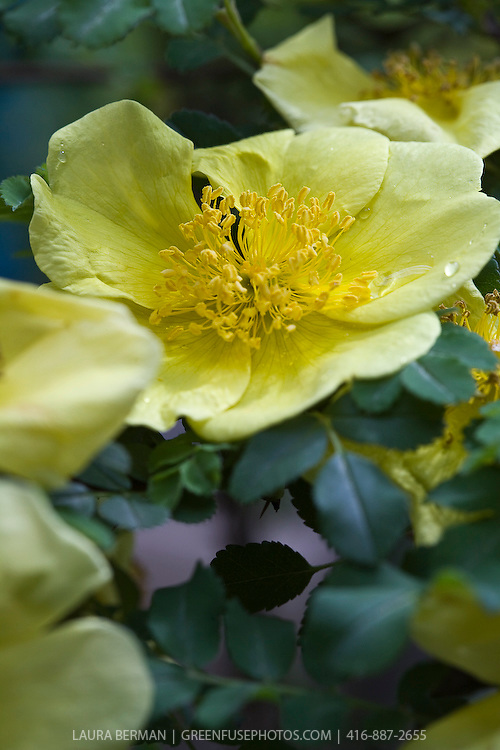 Yellow Incense Rose (Rosa primula) is a medium-sized shrub rose forming thin arching branches which bear early, small, single, soft-yellow flowers and incense-scented foliage.