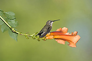 Archilochus colubris, Ruby-Throated Hummingbird Female On An Orange Trumpet Lily
