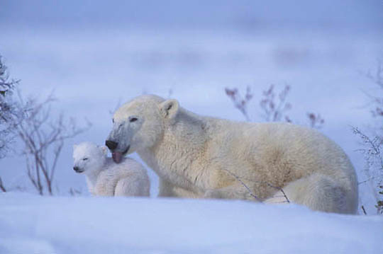 Polar Bear, (Ursus maritimus) Mother and newborn cub near den. Wapusk National Park. Churchill, Manitoba. Canada.