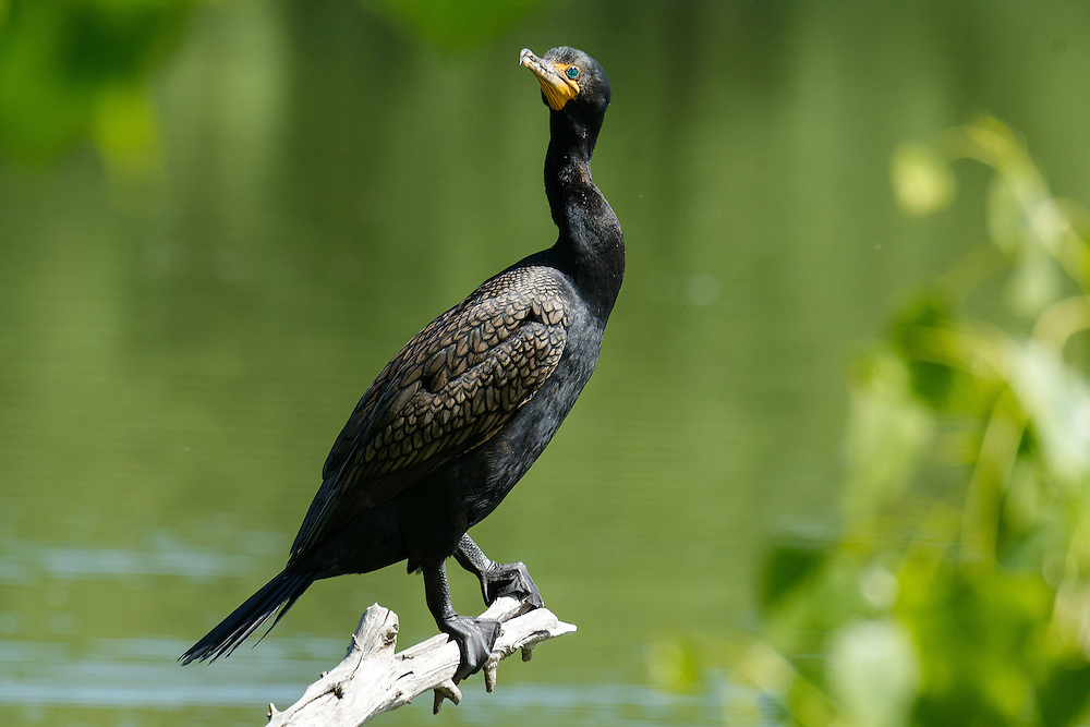 Double Crested Cormorant perched on branch at Twin Lakes in Boulder County, Colorado