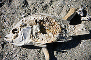 Salton Sea, California Decaying fish carcasses line the eastern shoreline of the Salton Sea in Southern California.