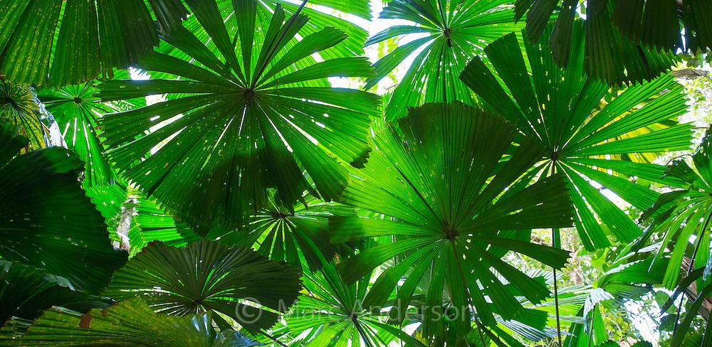 Australian Fan Palms (Licuala ramsayi) in the Daintree Rainforest, Queensland, Australia