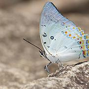 White Nawab Butterfly, Polyura delphis.