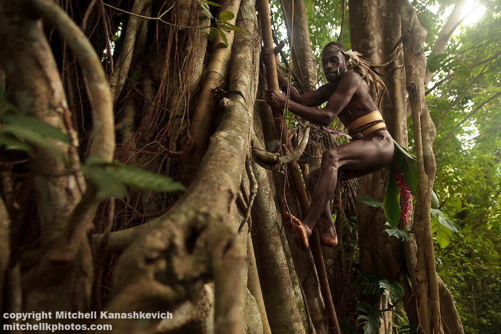 Traditional Ni Vanuatu man climbing a banyan tree in hunt for flying foxes and birds, South West Bay, Malekula, Vanuatu
