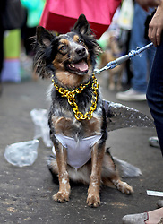 31 January 2016. New Orleans, Louisiana.<br /> Mardi Gras Dog Parade. A Collie at the Mystic Krewe of Barkus as the parade winds its way around the French Quarter with dogs and their owners dressed up for this year's theme, 'From the Doghouse to the Whitehouse.' <br /> Photo©; Charlie Varley/varleypix.com