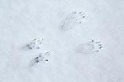 Red Squirrel (Sciurus vulgaris) foot prints in snow; in the Cairngorms National Park ,Scotland