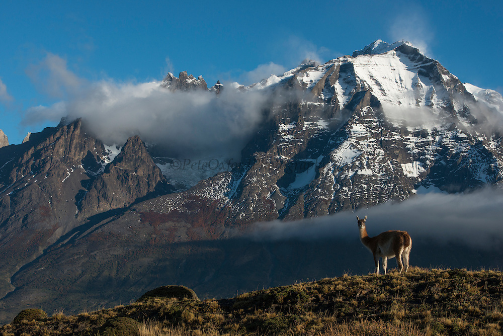 Guanaco (Lama guanaco)<br /> with Cordiera del Paine in back<br /> Torres del Paine National Park<br /> Patagonia<br /> Magellanic region of Southern Chile<br /> Native to South America