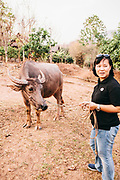 Neeracha Wongmasa with water buffalo at Phunacome resort