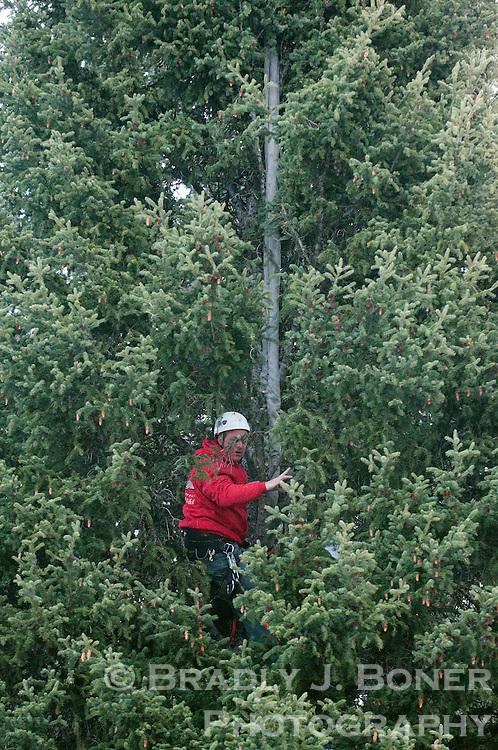 BRADLY J. BONER / NEWS&GUIDE.Nick Orsillo, owner of Wyoming Landscape Companies in Jackson, secures a rope attached to a crane to the tree to keep it upright as it's being cut. Orsillo's company nurtured the tree to keep it healthy since it was selected as the Capitol Tree in July.