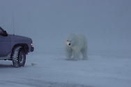 Polar Bear in Snow Blizzard ( Ursus maritimus )&amp;#xA;Hudson Bay Churchill Canada   human interaction danger&amp;#xA;winter , tundra , arctic , ice ,  marine mammal , snow  &amp;#xA;@ Kike Calvo - V&amp;W<br />