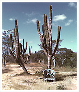 Mexican desertic landscape, with cardones (classic Mexican cactus/cacti), and an old chair. Setting resembles a scene from an old western movie. Mexico's Wild west.
