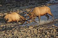 In this battle between two bull elk, the larger more mature bull, on the right, came away as the victor, pushing his smaller rival through the river and onto the opposite shore.