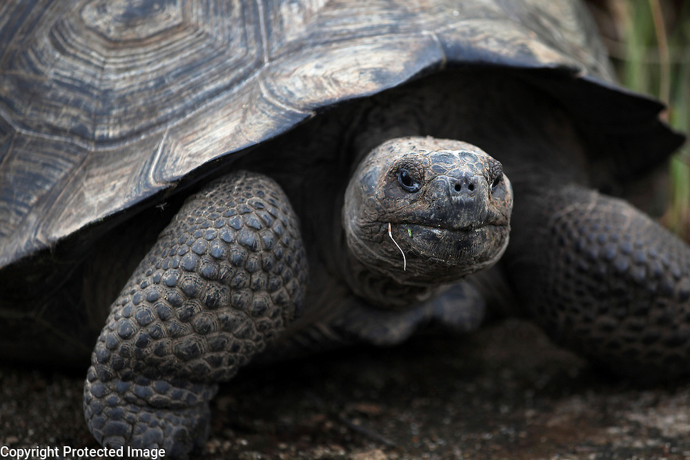 A giant tortoise is photographed in the wild on Isabela Island in the Galapagos.