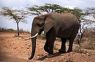 A bull elephant walks alone in the plains of the Maasai Mara, Kenya. (PHOTO: MIGUEL JUAREZ LUGO).