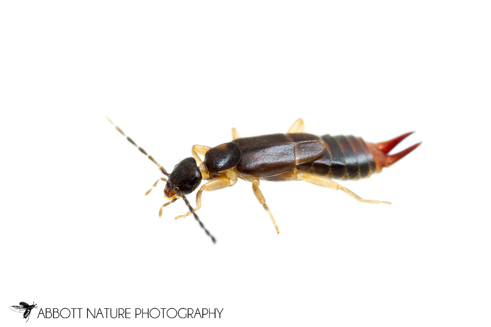Lesser Earwig (Labia minor) - female<br /> KENTUCKY: Jessamine Co.<br /> Nicholasville<br /> 22-Jun-2015<br /> J.C. Abbott #2750 &amp; K.K. Abbott