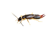 Lesser Earwig (Labia minor) - female<br /> KENTUCKY: Jessamine Co.<br /> Nicholasville<br /> 22-Jun-2015<br /> J.C. Abbott #2750 &amp; K.K. Abbott