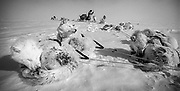 Dogs resting while sledging and skiing across Greenland icecap, Arctic