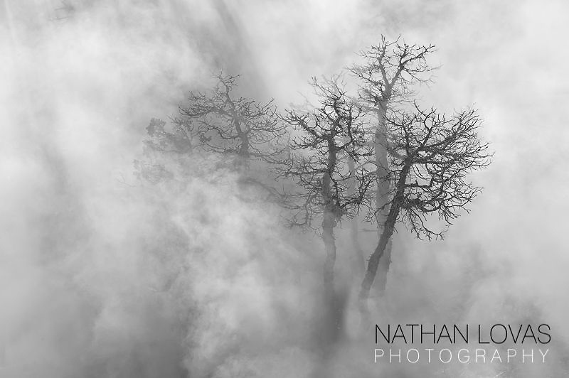 Fog covered trees;  Yellowstone NP.
