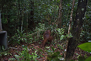 "Baby And Mum Orangutan Cling To Each Other Until Help Arrives<br /> <br /> This baby and mum orangutan lost their forest home — but now they're finally safe<br /> <br /> A mother and baby orangutan in Borneo have a bright future ahead of them after rescuers saved them from a life-threatening situation and moved them to a safe new home in the rainforest.<br /> <br /> A team from International Animal Rescue (IAR) based in Ketapang, West Borneo was alerted by locals in the nearby village of Sandai that a mother and baby orangutan had been spotted in a rubber tree plantation. IAR's Human Orangutan Conflict (HOC) team set off immediately to verify the report. Orangutans that enter villages in search of food are in serious danger of being treated as pests and attacked, even killed by farmers or plantation workers. <br /> <br /> Once they had located them, the HOC team set up camp for the night near the orangutans' nest and waited for the full rescue team to arrive.<br /> <br /> The following morning, in spite of driving rain, IAR's marksman Argitoe succeeded in hitting the mother with the first shot of his dart gun and mother and baby landed safely in the net stretched out below them by the rescue team. They named the orangutans Mama Rindi and Baby Rindi. Vet Ayu and Spanish volunteer vet Javier carried out a thorough medical check which confirmed that mother and baby were in good health and the mother was producing milk for her baby. <br /> <br /> IAR CEO Alan Knight said: ""This mother and baby are safe now but their story could have ended in tragedy had it not been for the actions of our team. Although some people know to contact us if they spot an orangutan near their village, others still react aggressively to the apes' presence. By searching for food in the rubber tree plantation, the mother ran a serious risk of being attacked and killed, leaving her tiny baby to be taken and sold as a pet. It's a great relief to know they are safe."" <br /> <br /> He continued: ""While the situation for orangutans is a bleak one, we wouldn't be w"