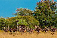 Herd of ostriches, Nxai Pan National Park, Botswana.