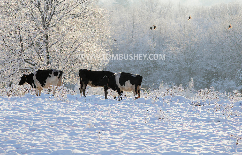 Otisville, NY - Cows feed in a field after a snowstorm on Dec. 6, 2009.