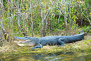 American alligator with mouth open showing its teeth basking by Turner River by Tamiami Trial, the Florida Everglades, USA