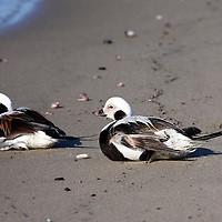 Two Long-tailed Ducks sitting on the beach