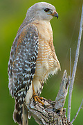 Red-shouldered Hawk (Buteo lineatus) - Arthur R Marshall, National Wildlife Reserve, Loxahatchee, Florida, USA<br />    Photo: Peter Llewellyn