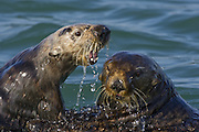 Southern Sea Otter<br /> Enhydra lutris<br /> Mother attacking breeding male who was harassing her and her 3-6 month old pup <br /> Monterey Bay, CA, USA